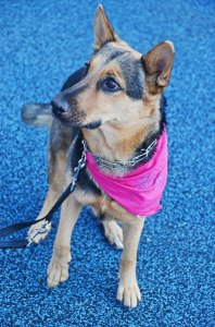 Stella at Wags to Riches 2012 sitting 545580_374991765913912_1602191305_n (1)
